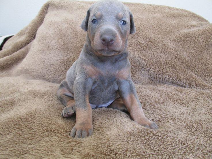 Blue Doberman Pinscher Puppies