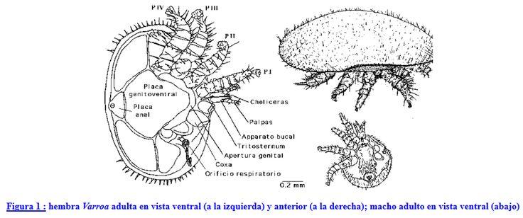#Apicultura La tolerancia a Varroa jacobsoni http://aga.cat/index.php/ca/articles/articles-d-interes/malaties-tractaments/451-la-tolerancia-a-varroa-jacobsoni #abelles #abejas #mel #miel #varroa #apicultura
