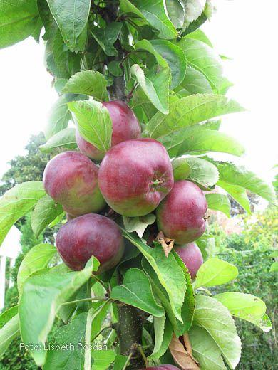 Freja er et søjletræ med dejlige røde æbler i oktober.