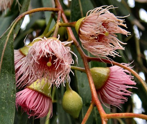 Eucalyptus. Beautiful trees that are prolific through our country.