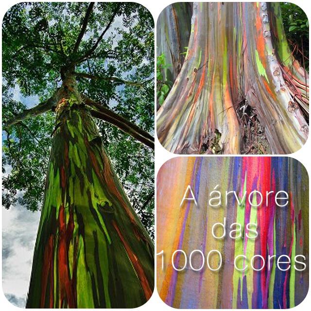 """O Eucalipto Deglupta ou simplesmente Eucalipto Arco-Íris, é uma árvore nativa de Nova Guiné, Indonésia ou sul das Filipinas e podem ultrapassar os 12 metros de altura. Sua característica mais marcante é, claramente, a coloração de seu tronco, que deu à árvore o apelido de """"1000 Cores""""."""
