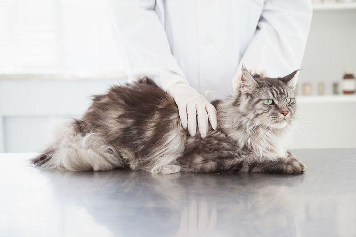 Vediamo cosa sono le #pulci del #gatto, come prevenirle ed eliminarle liberando il nostro #MaineCoon dalla loro fastidiosa presenza.