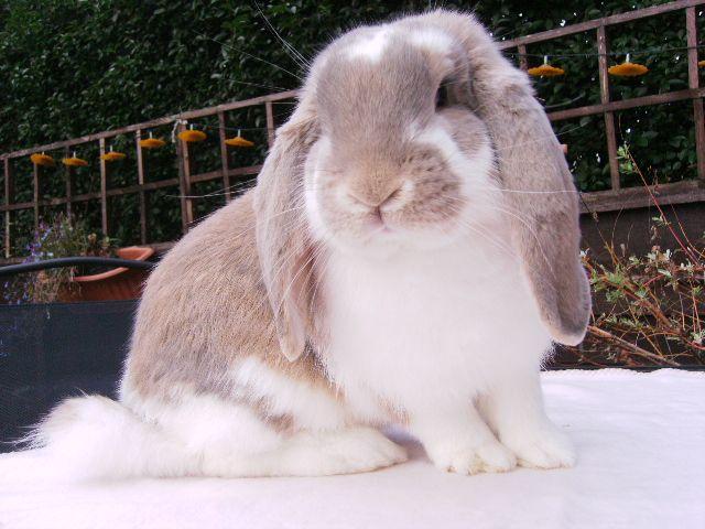 Best 25+ French lop rabbit ideas on Pinterest | Lop eared ...