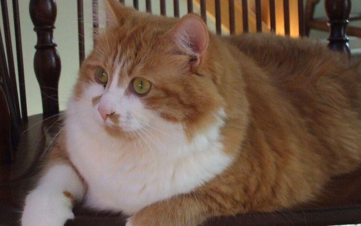 Karmy dla kotów z nadwagą