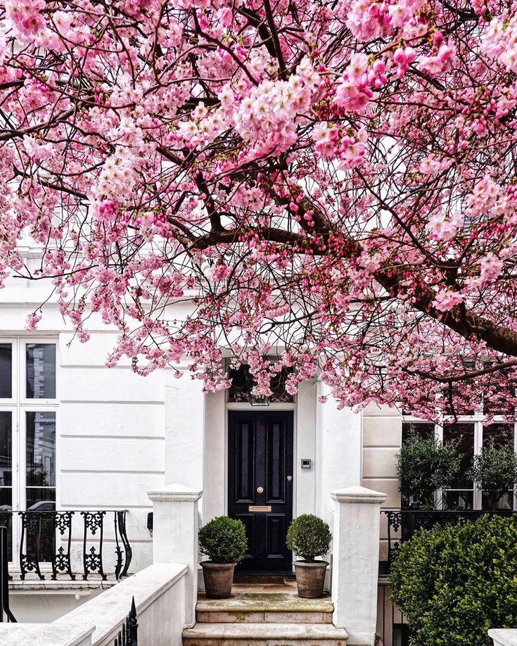 Prunus Amanogawa Milky Way Cherry Blossom Tree Flowering Cherry Tree Ornamental Cherry Japanese Flowering Cherry