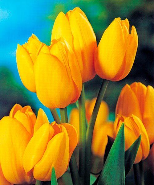 Vícekvěté tulipány ´Holland Bouquet´. Z jedné cibulky vykvete celá kytice! Vícekvěté tulipány v zářivě žluté vyniknou díky mnohačetnému květenství na záhonu i řezané ve váze. Stanoviště: slunce - polostín. Doba kvetení: březen - duben. Výška: asi 45 cm. K řezu.