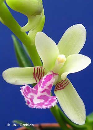 Sedirea japonica orchid