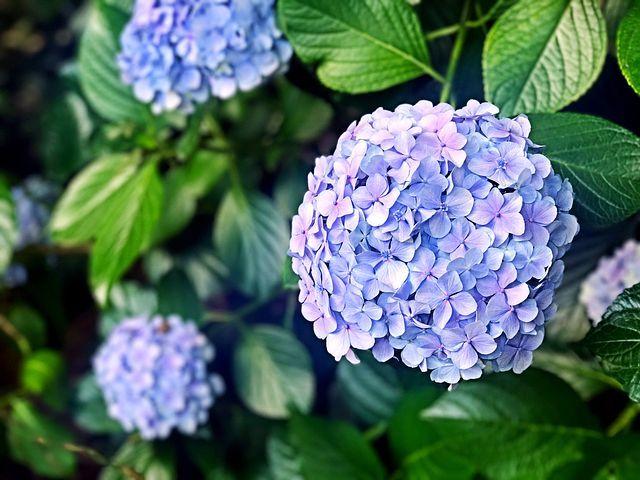 Hortênsia, Flores, Flor