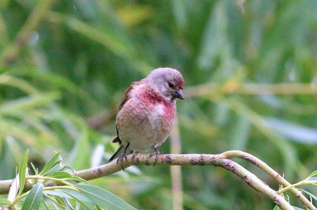 CREDO EXPERTO: Letní den a příroda. Ptáci na zahradě. Konopka obe...