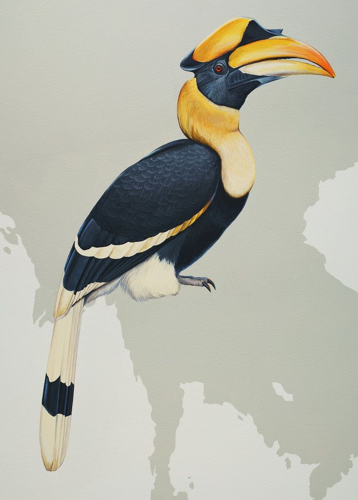 Image result for great Hornbill
