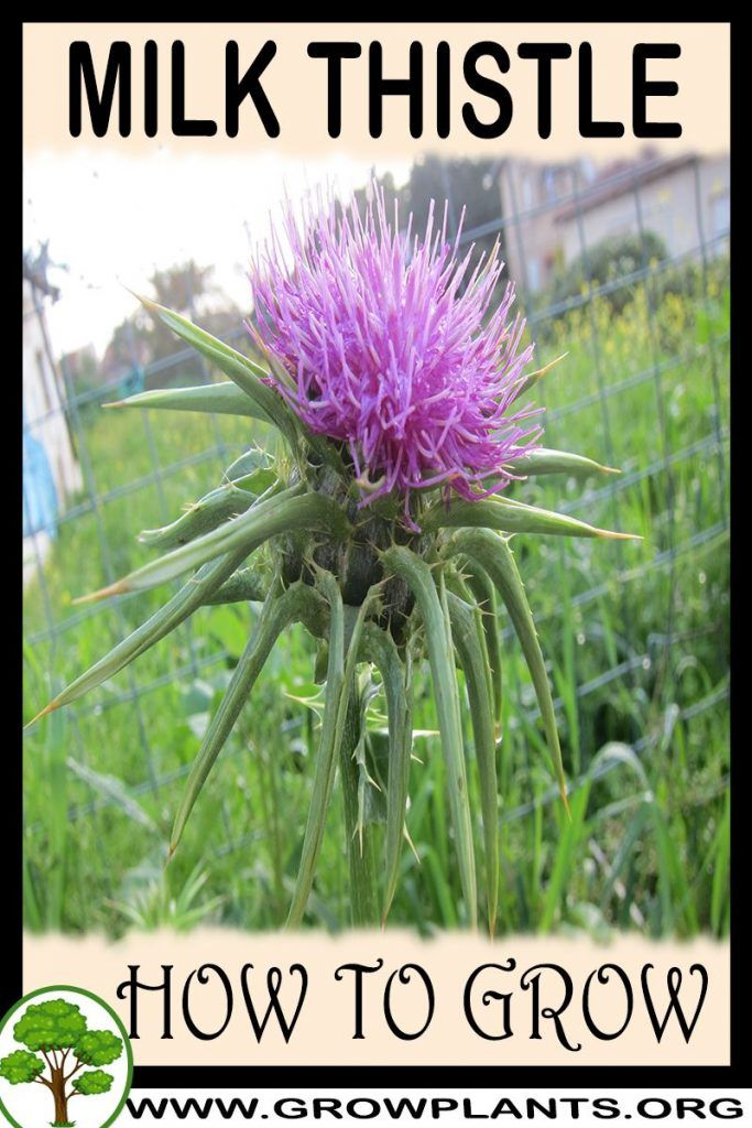 How To Get Rid Of Thistles In Your Garden
