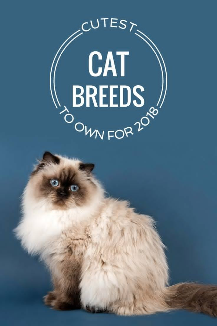 Here S A Rundown Of One Of The Most Adorable Creatures On The Planet Kitten Breeds Cat Breeds Cat Diseases
