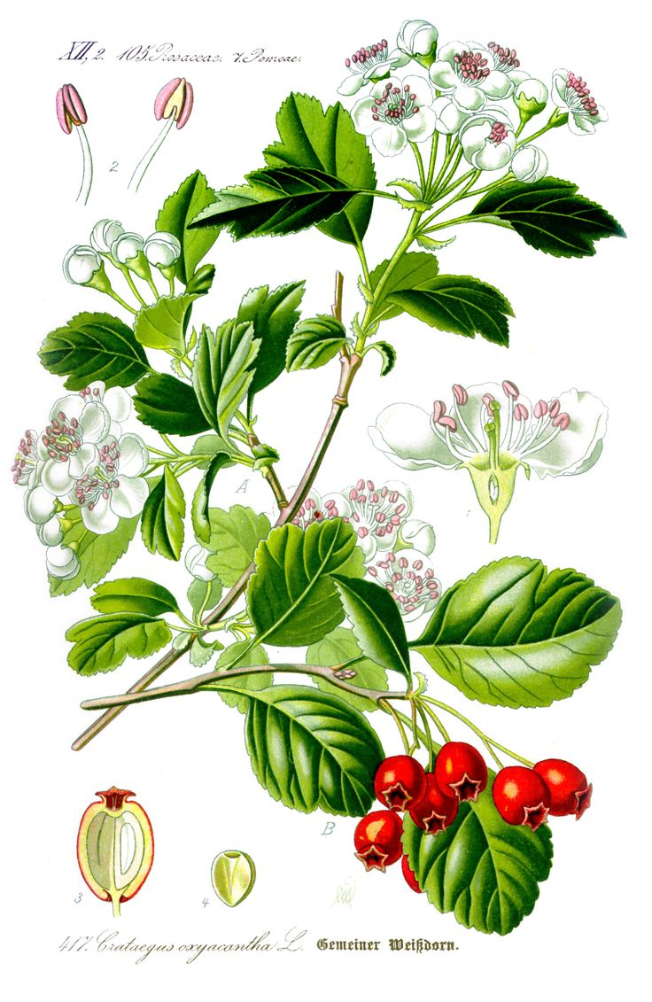 crataegus coccinea - Skafthagtorn är en rosväxtart som beskrevs av Carl von Linné. Crataegus coccinea ingår i släktet hagtornar, och familjen rosväxter