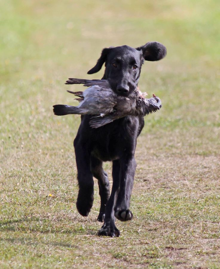 Pin by Hanne Stenbeck on My dogs, flat coated retrievers