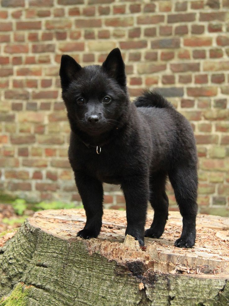 A schipperke. I really want this dog when I'm older