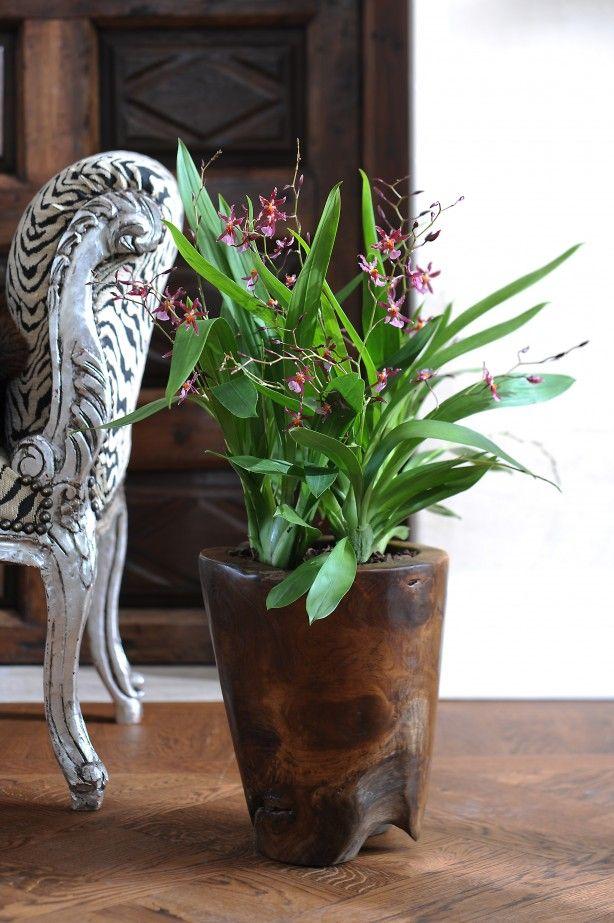 Orchidee Cambria in klassiek interieur. Een orchidee is een plant die in vrijwel elk interieur past. Door zijn  bijzondere uitstraling past hij bij elke interieurstijl. Hier is de orchidee in een grote pot op de vloer geplaatst waardoor hij een echte eyecatcher wordt. Bloemen Bureau Holland
