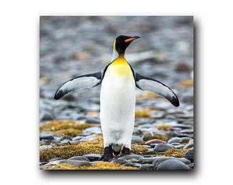 Penguin Photo, Penguin picture, Penguin image, Antarctica, King Penguin, Wild Bird, Colorful Bird, Antarctic, South Georgia, Penguin, Bird