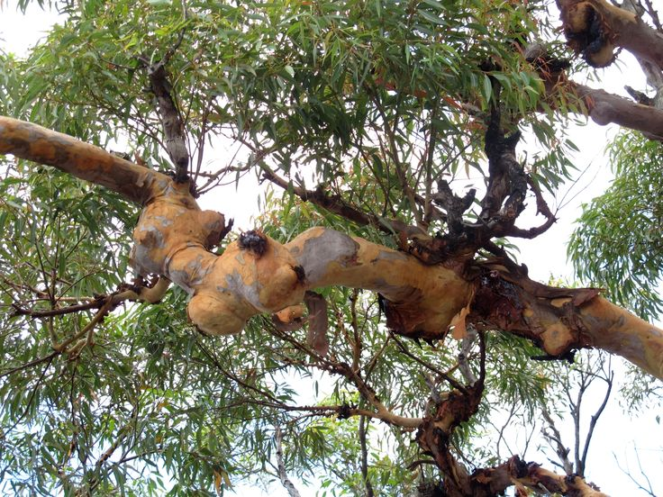 A knobby branch of Angophora costata. Notice the colour when the old bark comes off, This is in the same area as the shot before, but I zoomed in.