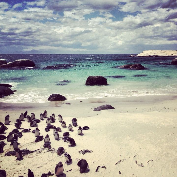 While Boulders Beach near Simonstown is beautiful, probably its biggest charm is the colony of African Penguins that reside here.