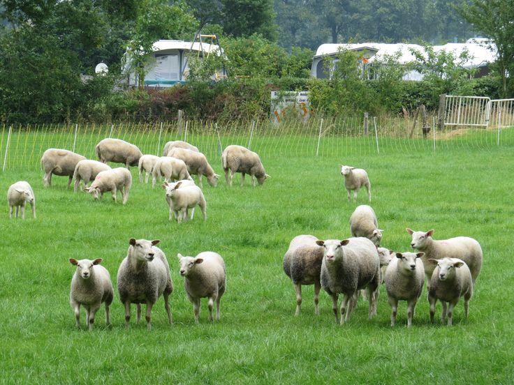 2014-06-29 Nieuwsgierige schapen bij camping De Ikkinkshof aan de Ikkinksweg nabij Dijkerhoek