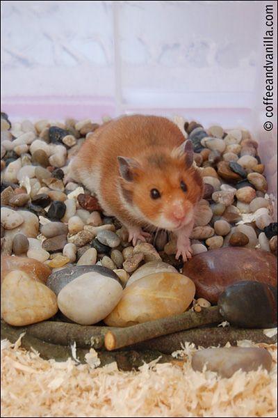 Hamster Playground Pebbles Stones