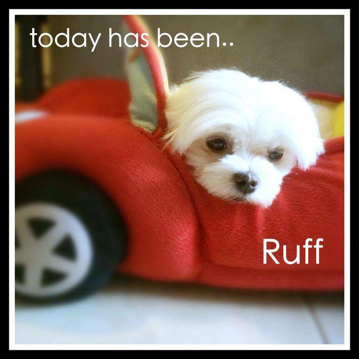 ... Poodle on Pinterest | Maltipoo Dog, Shih Poo and Maltipoo Puppies