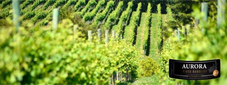 A Vinícola Aurora é uma das maiores vinícolas brasileiras. Por volta de 1875 imigrantes italianos se instalaram no município de Bento Gonçalves e, a partir de então, começaram a produzir vinhos na Serra Gaúcha. Em 1931, 16 famílias de produtores de uvas reuniram-se e lançaram o que pode ser chamado de pedra fundamental do que viria a se tornar a Cooperativa Vinícola Aurora.