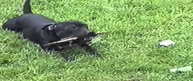 Staffy Bull Terrier Pup Playtime