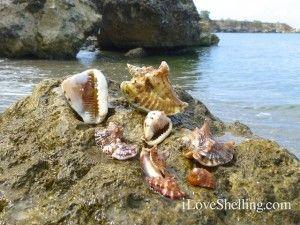 Beautiful Shells from iloveshelling.com