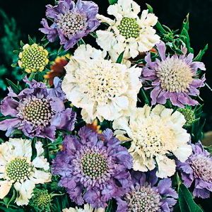 Scabiosa House's Hybrids flowers in lavender, blue, and silver-white.
