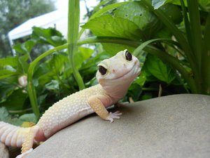 leopard gecko smiling | leopard gecko smile