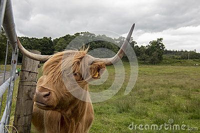 Hebridean breed. Typical hairy cattle of Scotland highlands