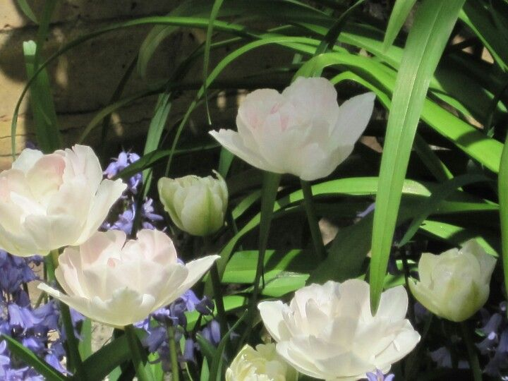Tulips intermingling with bluebells and summer lily blades