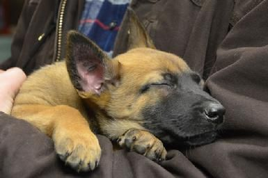 Belgian Malinois puppies for sale at Cher Car Kennels