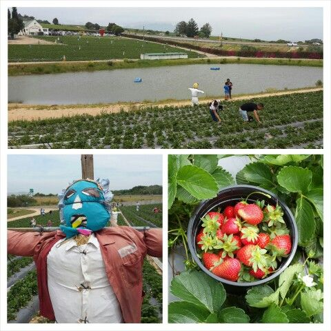 Family Fun Activity...Strawberry Picking at Polkedraai Farm, Cape Town