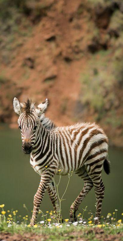 ~~Zebra Foal by Old-Man-George~~