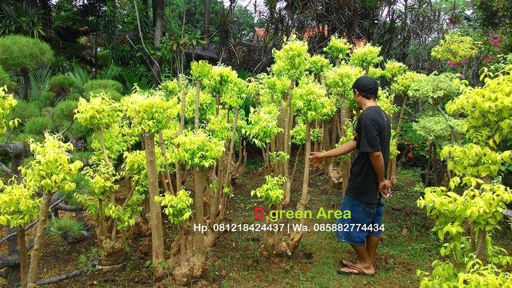 jual bonsai anting putri murah