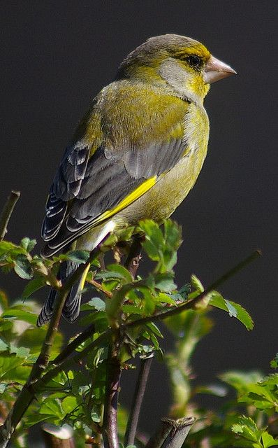 #Greenfinch. #woodland #wildlife #nature #ForestRetreat #UKgetaway