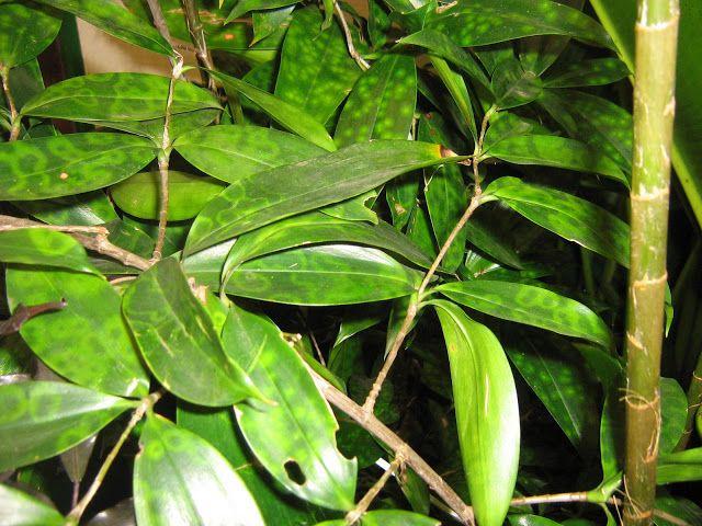 DRACENA-BAMBÚ - Dracaena Surculosa  Meu Cantinho Verde: DRACENAS - Só Fotos