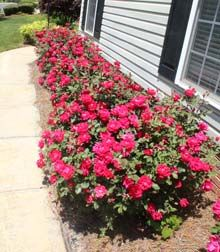 Double Knockout Rose | just planted at home today!