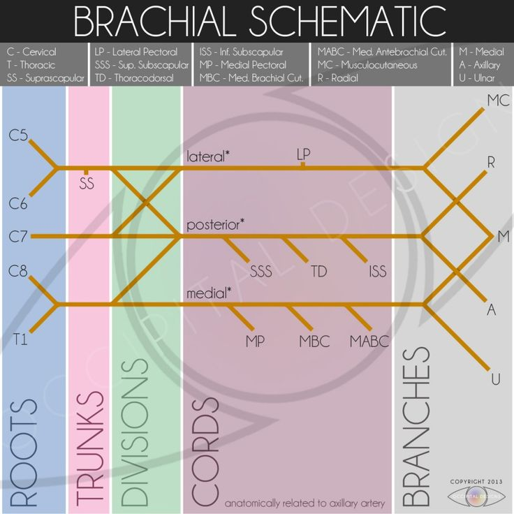 The Brachial Plexus as inspired by Henry Beck's work.