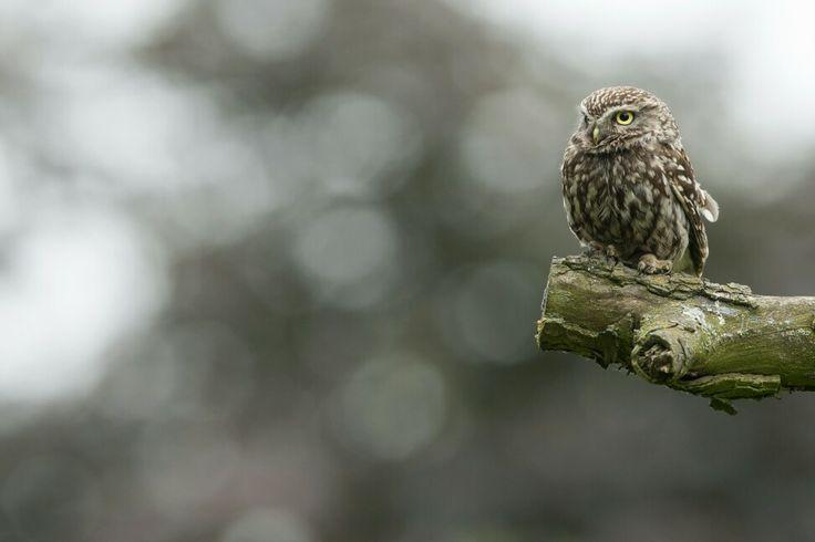 Het steenuilen vrouwtje ( Athene noctua ) rustend in de perenboom. A Little Owl ( Athene noctua ) resting in a pear tree. Photographer Cees Uri www.ceesuri.nl