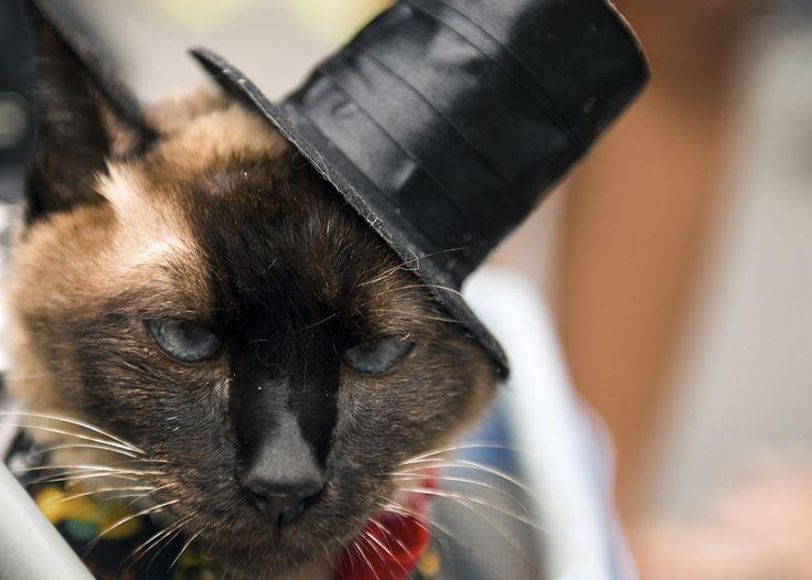 """O pisică ce poartă o pălărie reacţionează în timpul unei parade a carnavalului animalelor """"Blocao"""" în Copacabana, Rio de Janeiro, duminică, 16 februarie 2014. (  Christophe Simon / AFP  ) - See more at: http://zoom.mediafax.ro/news/cats-in-the-news-12976632#sthash.kVUHaMTi.dpuf"""