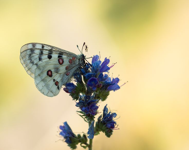 Luxury nature blossom white photography flower petal bloom insect horse botany blue butterfly flora fauna invertebrate close