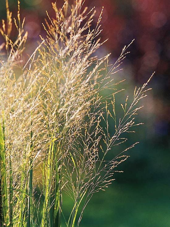 191 best images about grasses on pinterest gardens sun for Small ornamental grasses for sun