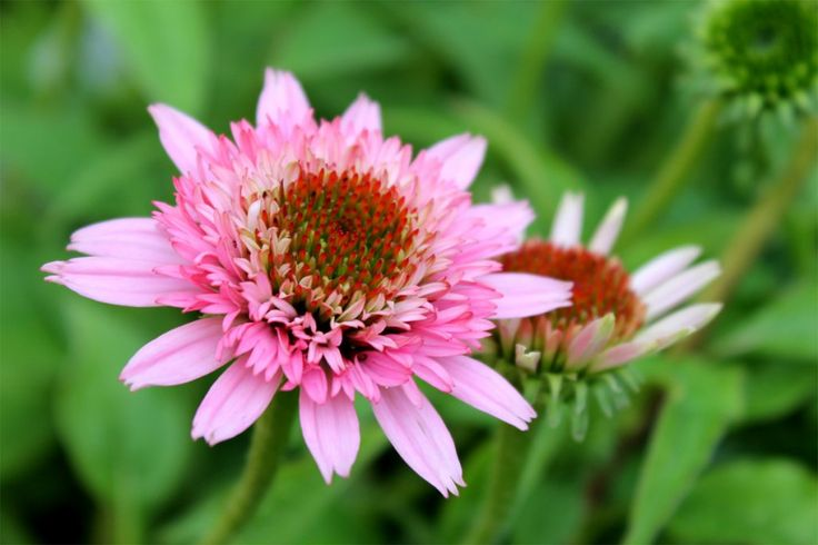 Echinacea 'BUTTERFLY KISSES'