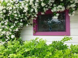 murraya min a min hedge with jasmine