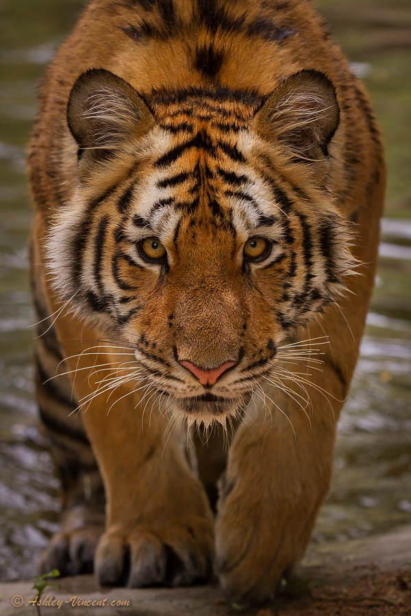 Hypnotic Gaze by Ashley Vincent on 500px