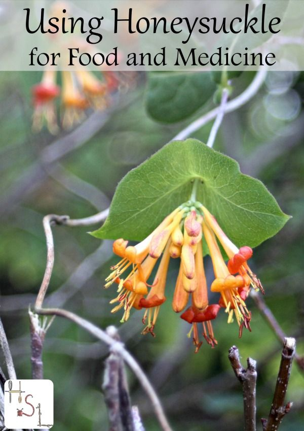 Using Honeysuckle for Food and Medicine