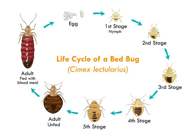 Life Cycle Of Earwig: Bed Bug Pictures - Life Cycle Of A Bed Bug